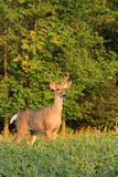 Dollaro dei cervi di Whitetail con i corni del velluto Fotografie Stock