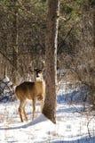 Dollaro dei cervi di Whitetail in neve Fotografie Stock Libere da Diritti