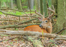 Dollaro dei cervi di Whitetail in velluto Fotografie Stock