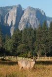 Dollaro dei cervi muli in valle di Yosemite Immagini Stock