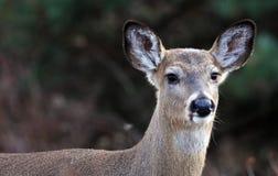 Dollaro del ritratto della testa del primo piano dei cervi bello in autunno del Michigan immagine stock