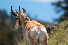 Dollaro dell'antilope di Pronghorn dell'americano (maschio) vicino all'insenatura di Slough Immagini Stock