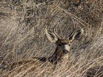 Dollaro di riposo dei cervi muli fotografia stock libera da diritti