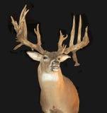 Dollaro montato con i Antlers Fotografie Stock