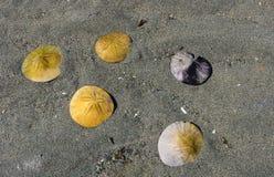 Dollars de sable s'étendant dans le sable sur l'île de Vancouver Canada photo stock