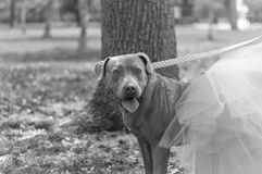 Dolly the Pit Bull royalty free stock images