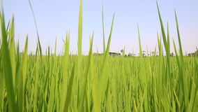 Dolly geschoten Groen padiepadieveld stock videobeelden