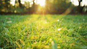 Dolly lage die hoek van gras met dauw in de de herfstochtend wordt geschoten met zonstralen stock video