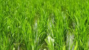 Dolly Rice fields in Bali stock video footage
