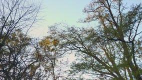 Dolly schot van bodem van autummnalbomen die zich langzaam met camera op blauwe hemelachtergrond bewegen stock video