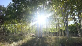 Dolly Shot of Aspen Tree Forest. Dramatic Scenes in an Aspen tree grove near Bryce Canyon National Park stock video footage