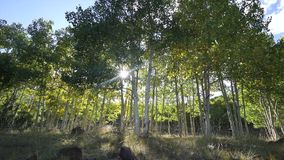 Dolly Shot of Aspen Tree Forest. Dramatic Scenes in an Aspen tree grove near Bryce Canyon National Park stock video