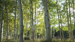 Dolly Shot of Aspen Tree Forest. Dramatic Scenes in an Aspen tree grove near Bryce Canyon National Park stock footage