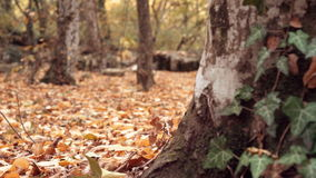 Dolly shot of brown dry leaves on the ground in the forest and tree trunks. Close smooth dolly shot. Fallen golden. Leaves and forest trees in soft focus on the stock video footage
