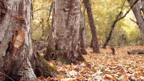 Dolly shot of brown dry leaves on the ground in the forest and tree trunks. Close smooth dolly shot. Fallen golden stock video footage