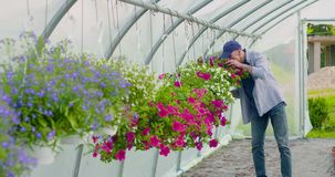 Agriculture confident male gardener examining potted flower plant. Dolly shot of confident mature male gardener examining potted flower plant at greenhouse stock video footage