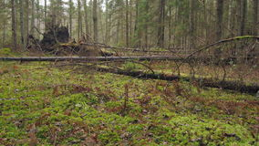 Dolly shot of decaying wind-fallen trees. On a moss covered forest floor stock footage