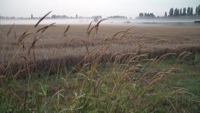 Grain Field, Morning Mist 4K UHD. A dolly shot of a field of grain on a misty morning. 4K UHD stock footage