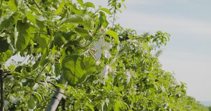 Fruit Trees In A Row On Agricultural Field. Dolly shot of fruit trees in a row on agricultural field stock video footage