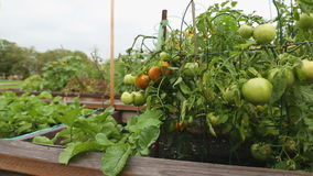 Dolly shot Garden Tomatoes stock video footage