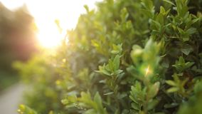 Dolly shot of a green bush with sunrays and flare in slow motion. Closeup shot stock video