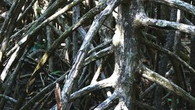 Dolly shot of large mangrove roots in the daintree. National park in the wet tropics of australia stock video footage