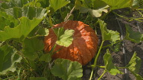 Dolly shot Large Orange Pumpkin stock video footage