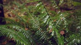 Dolly shot Pacific Northwest Rainforest Fern stock footage