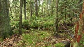 Dolly shot Pacific Northwest Rainforest Stump stock video footage