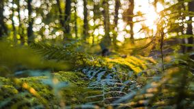 Dolly shot into picturesque deep forest with fern plants and sun rays breaking through stock video footage