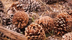 Dolly shot of pine cones. A dolly shot of pine cones on the ground at yosemite national park stock footage