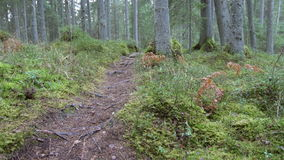 Dolly shot revealing a coniferous forest hiking trail. With tree roots in the rock formations of Kaltenes Kalvas, Latvia stock video
