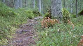 Dolly shot revealing a coniferous forest hiking trail. With tree roots in the rock formations of Kaltenes Kalvas, Latvia stock video footage