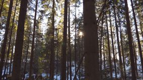 Dolly shot of sun light breaking through trees in early morning. Warm sunbeams illuminating plants in winter. Beautiful. Mountain pine forest with sun shining stock footage
