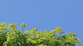 Dolly shot of treetops and blue sky. Backgrounds in tropical rain forest stock video footage