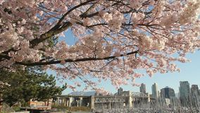 Dolly Shot Vancouver Cityscape Blossoms. A camera dolly shot of cherry blossoms framing the Burrard Street Bridge and downtown near Granville Island, Vancouver stock footage