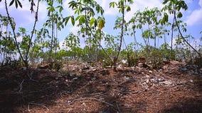 Dolly slider nature cassava farm in Thailand