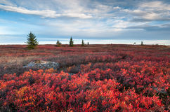 Dolly Sods Wilderness Area Red Heath Autumn West Virginia Landscape Fotos de archivo libres de regalías