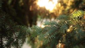 Dolly strzał piękna zielona conifer gałąź z sunrays i racami zbiory