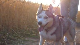 Dolly strzał siberian husky pies ciągnie smycz podczas odprowadzenia wzdłuż drogowego pobliskiego pszenicznego pola przy zmierzch zbiory wideo