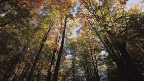 Dolly strzelający piękny żółty jesieni drzewo zbiory