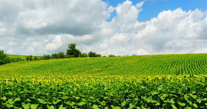 DOLLY TIME LAPSE: Sunflower Field stock video footage