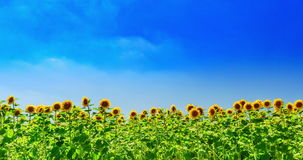 Dolly time lapse: sunflower field stock footage