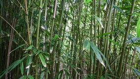 Dolly van Hawaiiaans Bamboebos - 4K - 4096x2304 stock footage