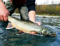 Dolly Varden Stock Photo