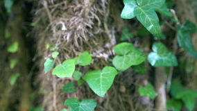 Dolly zoom on ivy leaves and big ivy stem. From soft blurred to crisp focus of leaves. Rocks covered with moss and ivy stock video