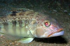 Dolna ryba Zdjęcie Stock