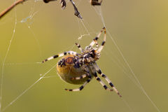 dolny makro- strzału strony pająk Zdjęcie Stock