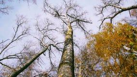 Dolny widok drzewo wierzchołki w jesiennym lesie, wiruje zbiory
