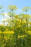 Dolny widok kwiatonośni koperkowi ziele w ogródzie Fotografia Royalty Free